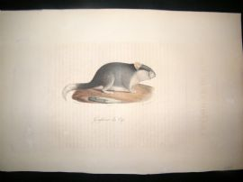 Saint Hilaire & Cuvier C1830 Folio Hand Colored Print. Cape Dormouse